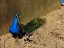 Male Peacock in Vivid Colors. Spring 2018; Cohanzick Zoo, Bridgeton, New Jersey Stock Image