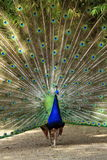 Male peacock wheel of feather Royalty Free Stock Photo