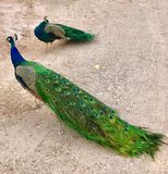 Bonnie Springs, Red Rock National Conservation Area, Nevada, USA. Male Peacocks posing on grounds of Bonnie Springs, in La Madre Mountain and Rainbow Mountain Stock Images