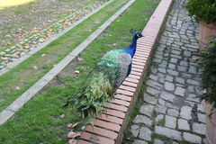 A male peacok on a fence. A picture of a male peacock from behind with a view of his colorful tail feathers, head and body walking while he is walking on a brick Stock Image