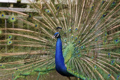 Male Peafowl,Pavo Royalty Free Stock Images