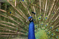 Male Peafowl,Pavo Stock Image
