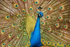 Male Peafowl Spreading Tail Stock Image