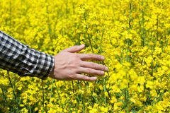 Male peasant in field of yellow blooming canola, and stroked the flowers closeup. Stock Photography