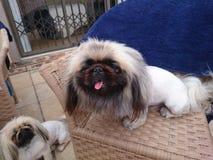 Male pekingese dog Stock Images