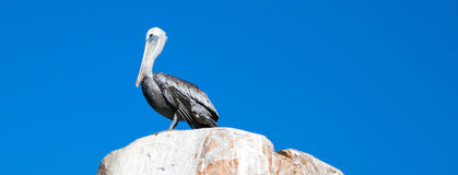 Male Pelican perched on La Anegada Rock at Lands End at Cabo San Lucas Baja Mexico. Male Pelican perched on La Anegada Rock at Los Arcos / Lands End at Cabo San stock image