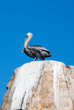 Male Pelican perched on La Anegada Rock at Los Arcos / Lands End at Cabo San Lucas Mexico Royalty Free Stock Photos