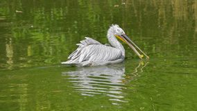 Male pelican swimming in the water of the pond, with some food in its beak royalty free stock photography