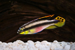 Male Pelvicachromis pulcher kribensis cichlid Aquarium fish Stock Photos