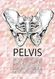 Male pelvis poster Stock Image