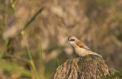 Male Penduline Tit on a Reed Stock Photos
