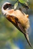 A male of penduline tit  / Remiz pendulinus Royalty Free Stock Photography