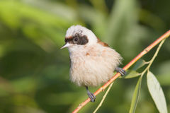 A male of penduline tit / Remiz pendulinus Stock Images