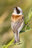 A male of penduline tit  / Remiz pendulinus Stock Image