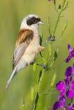 A male of penduline tit  / Remiz pendulinus. A male of penduline tit close-up / Remiz pendulinus Stock Photos