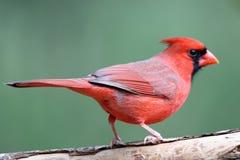 Male Perching Cardinal Stock Photo