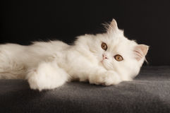 Male Persian cat Stock Image