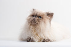 Male Persian Cat Breed Royalty Free Stock Photos