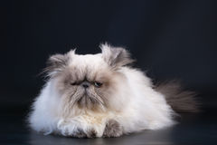 Male persian cat breed Stock Photography