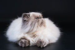 Male persian cat breed half face Royalty Free Stock Photography