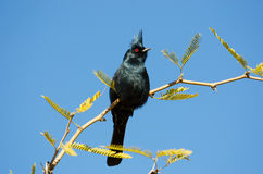 Male Phainopepla Royalty Free Stock Photos