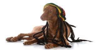 Male pharoah hound wearing rastafarian wig. On white background Royalty Free Stock Images