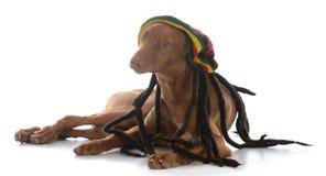 Male pharoah hound wearing rastafarian wig. On white background Royalty Free Stock Photography