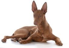 Male pharoah hound. On white background Royalty Free Stock Photography