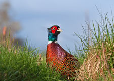 Male Pheasant. A Colorful Common Male Pheasant royalty free stock photography