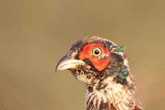 Male pheasant Stock Photography