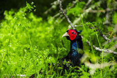 Male Pheasant Royalty Free Stock Photo