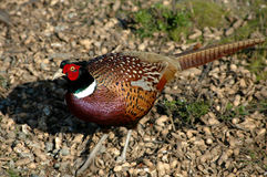 Male Pheasant. A beautiful male pheasant royalty free stock photos