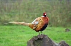 male pheasant Royaltyfri Fotografi