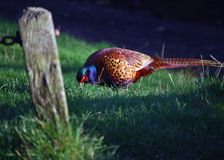 male pheasant royaltyfria foton