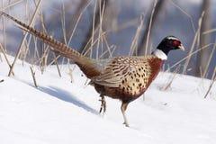 male pheasant Royaltyfri Foto