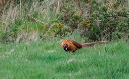 Male pheasant Stock Photo