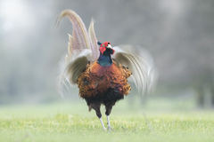 Male Pheasant flapping Royalty Free Stock Images