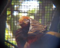 Male of pheasant golden in a zoo. Bird of plumage full of intense colors, fauna and ornithology, animal in captivity Stock Photography