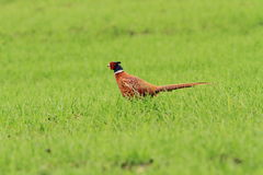 Male pheasant on green lawn Royalty Free Stock Photo