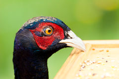 Male pheasant head resting on bird table Stock Images