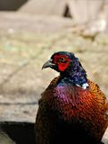 Male Pheasant head and upper body. Close-up photo of a colorful male Pheasant head and upper body Stock Photos