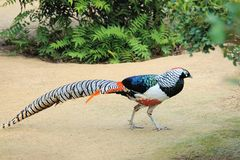 Male Pheasant. The male Pheasant walks on ground. Scientific name: Chrvsolophus amherstiae royalty free stock photos