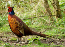 Male Pheasant / Phasianus colchicus royalty free stock image