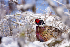 Male Pheasant in the snow. Male Pheasant on snow, (Phasianus colchicus mongolicus Stock Photography