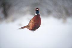 Male Pheasant in Snow Royalty Free Stock Photo