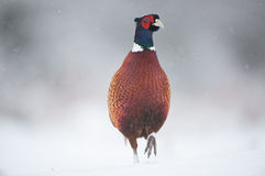 Male Pheasant in Snow Stock Photos