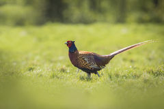 Male Pheasant stepping Royalty Free Stock Photos