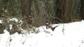 Male Pheasant walking in the snow. stock video