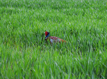 Male Pheasant Walks Through Grass Royalty Free Stock Photo
