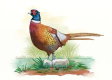 Male pheasant watercolor Stock Photo